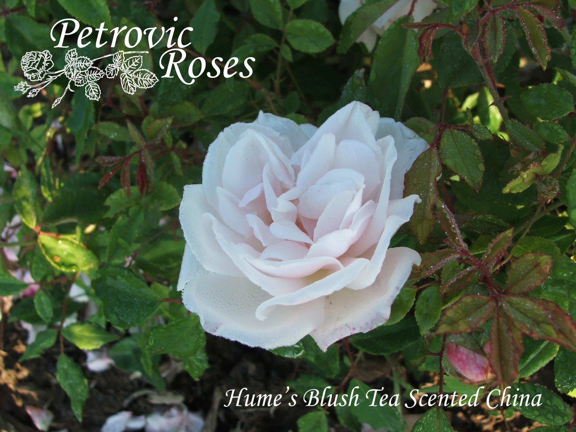 hume s blush tea scented china petrovic roses