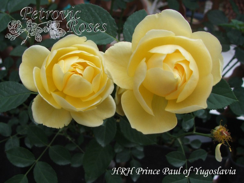 The Yellow Rose Of Prince Paul Petrovic Roses